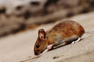 Mice Control, Pest Control in Bromley-by-Bow, Bow, E3. Call Now 020 8166 9746