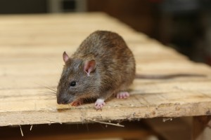 Mice Infestation, Pest Control in Bromley-by-Bow, Bow, E3. Call Now 020 8166 9746