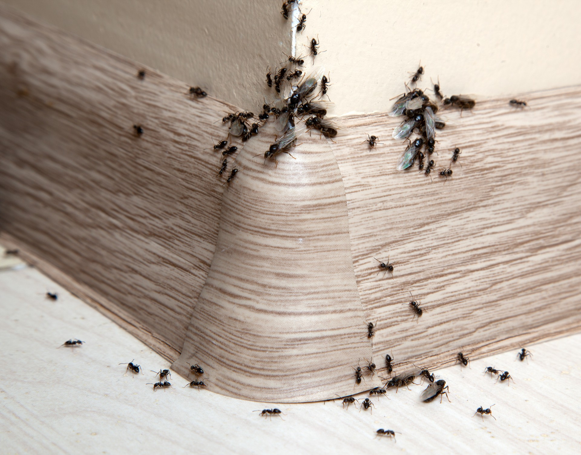Ant Infestation, Pest Control in Bromley-by-Bow, Bow, E3. Call Now 020 8166 9746