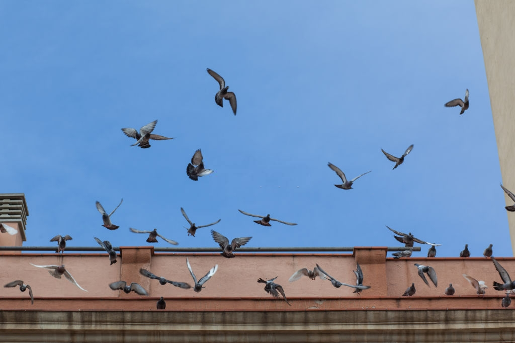 Pigeon Pest, Pest Control in Bromley-by-Bow, Bow, E3. Call Now 020 8166 9746